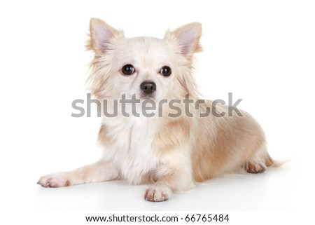 Light-brown chihuahua puppy lying on a white background