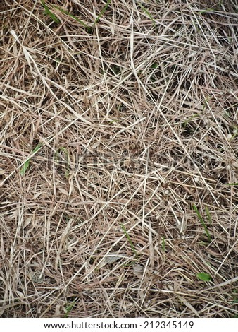 light brown dried grass straw outdoor under sunlight on a sunny day - stock photo