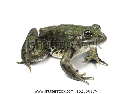 Light brown spotted marsh frog on a white background