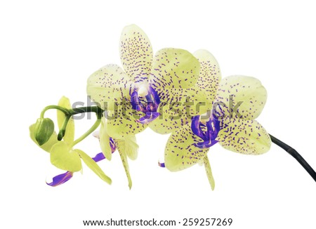 light color orchid flowers in blue spots isolated on white background - stock photo