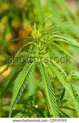 Light drug marihuana grown for hallucinogen effects - stock photo