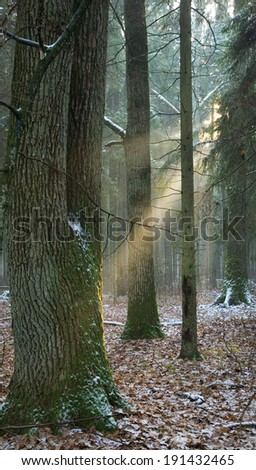 Light entering foggy forest at early winter sunset - stock photo