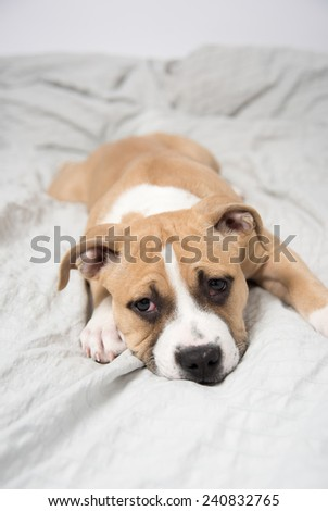 Light Fawn Colored Bulldog Mix Puppy on Gray Bed