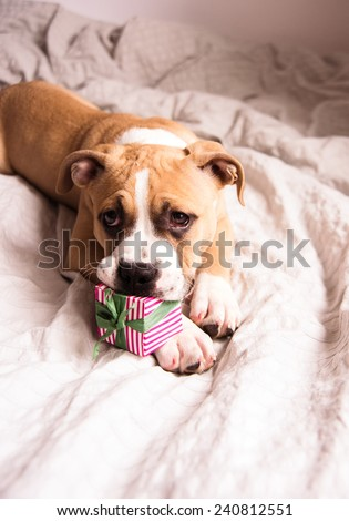 Light Fawn Colored Bulldog Mix Puppy on Gray Bed Playing with Gift Box - stock photo