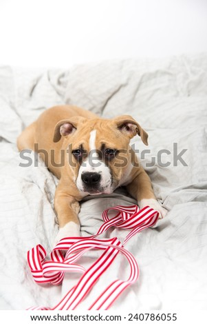 Light Fawn Colored Bulldog Mix Puppy on Gray Bed Playing with Red Ribbon - stock photo