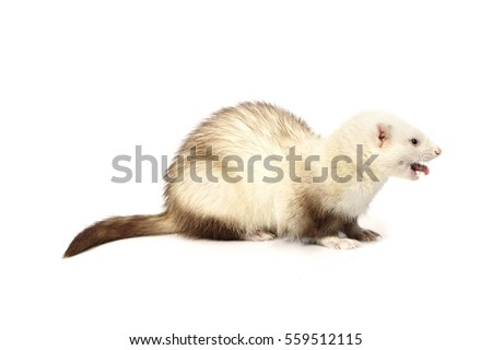 Light ferret on white background posing for portrait in studio