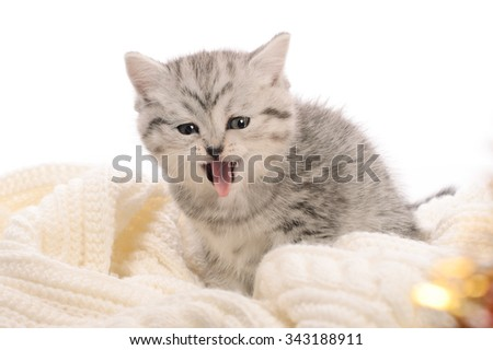 light gray kitten lolling tongue out on knitted fabric on white background