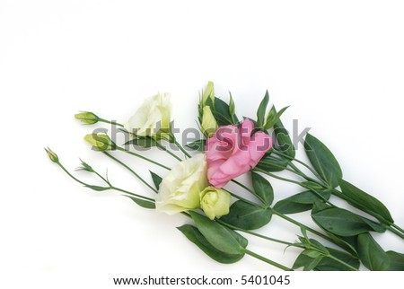 light green and pink lisianthus flowers