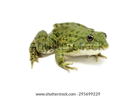 light green frog on a white background
