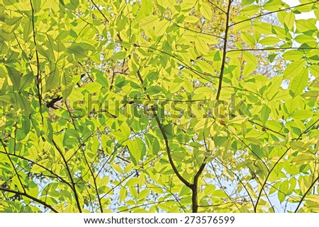 light green leaves background in sunny day - stock photo