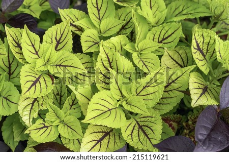Light green leaves of unknown cultivar of coleus (botanical name: Solenostemon scutellarioides) with prominent, dark red veins in summer garden, northern Illinois - stock photo