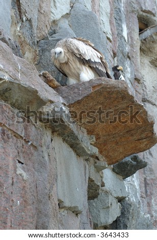 Light griffon which sits on the rock - stock photo