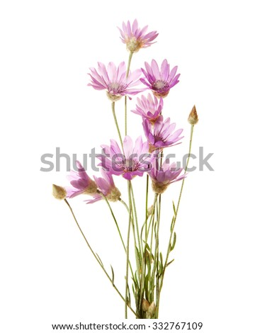 Light lilac wildflowers isolated on white background. Immortelle