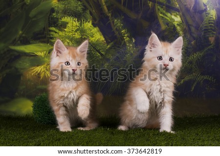 Light Maine Coon kittens playing in the jungle - stock photo
