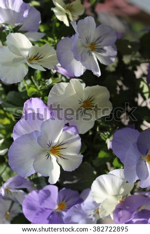 Light pansies - vertical background - stock photo