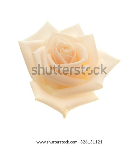 light pink and yellow rose isolated on white background - stock photo