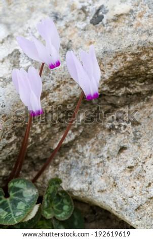 Light pink cyclamen wild flowers on a rocky surface from  Akamas Peninsula resort, Paphos, Cyprus. - stock photo