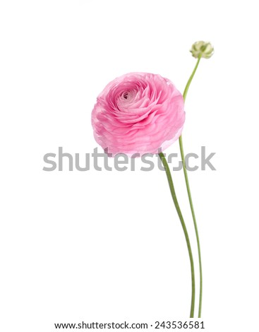 Light pink flower isolated on white background. Ranunculus - stock photo
