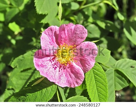Light pink flower rosehip name rose stock photo royalty free light pink flower of rosehip name rose come from unpreserved adjective lipoviy mightylinksfo