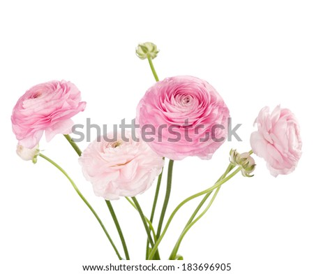 Light pink flowers isolated on white. Ranunculus - stock photo
