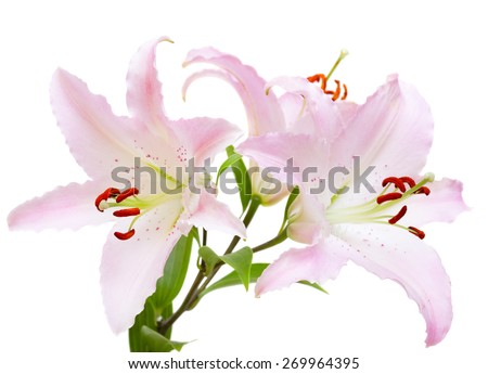 light pink lilies on a white background - stock photo