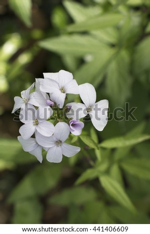 Light pink phlox flowers. Phlox paniculata. Brilliant Rose. Flowering herbaceous plants. Blooming phlox paniculata in the garden. Shallow depth of field. Selective focus. - stock photo