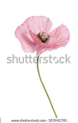 light pink poppy isolated on white - stock photo