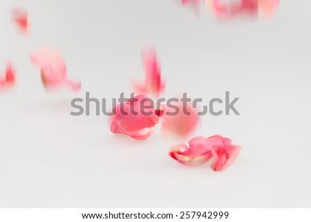 Light pink rose petal falling on white background - stock photo