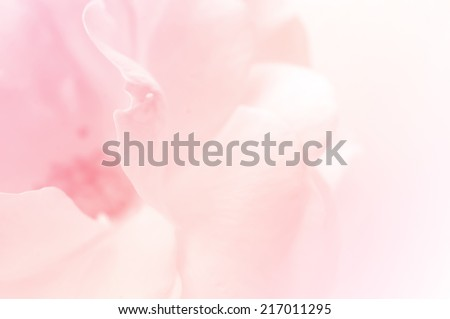 light pink roses in soft color and blur style for background - stock photo