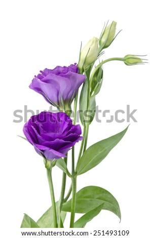 Light purple flowers isolated on white. eustoma - stock photo