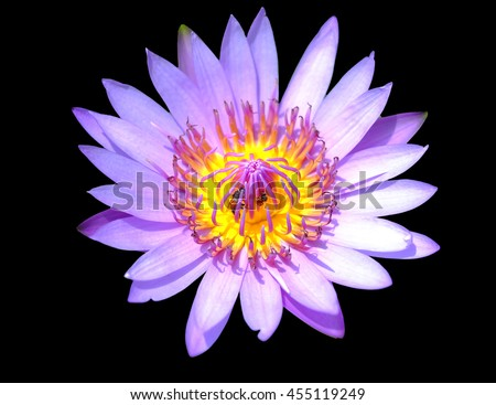 light purple lotus flowers with two working bees on the black background