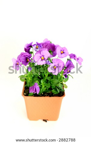 Light purple Viola flower bedding plant in pot isolated