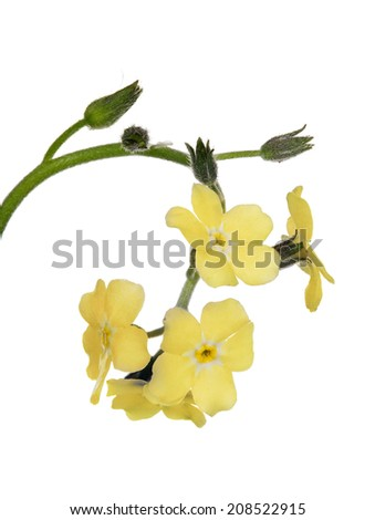 light yellow forget-me-not flower isolated on white background