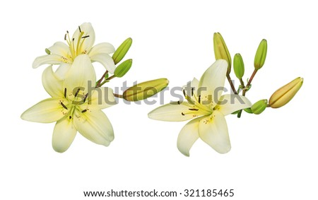 Light yellow lily flower cluster isolated on white background - stock photo