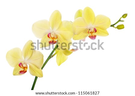 Light yellow orchid flowers isolated on stock photo download now light yellow orchid flowers isolated on white background mightylinksfo