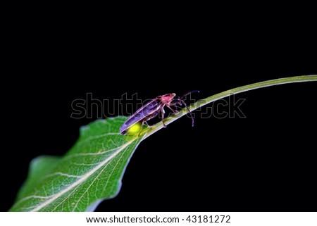 Lighting bug - stock photo