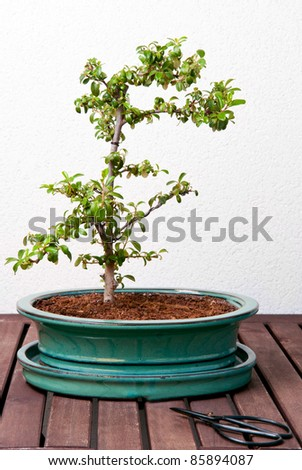 Ligustrum bonsai tree on a wood table, against a white wall - stock photo