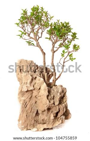Ligustrum vulgare bonsai isolated on white - stock photo
