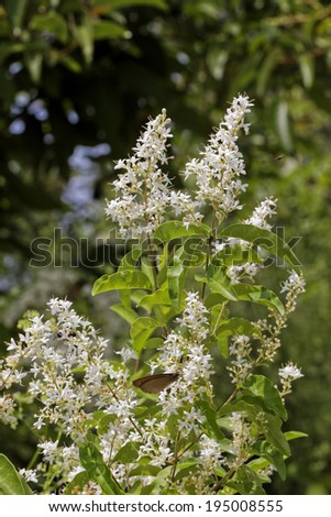 Ligustrum vulgare, Common Privet, European Privet