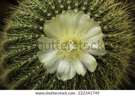 Like their spines, cactus flowers are variable. Typically, the ovary is surrounded by material derived from stem or receptacle tissue. - stock photo