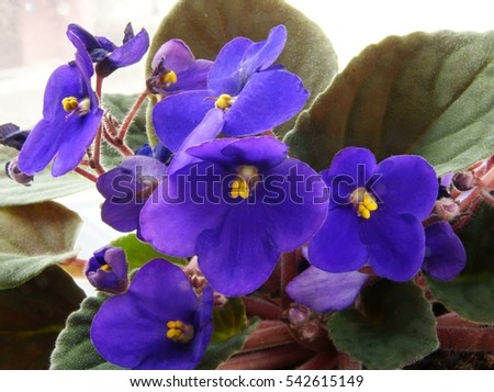 lila flower of african violet potted plant