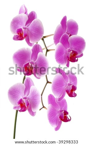 lila orchid flowers