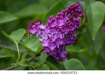 Lilac blooms. A beautiful bunch of lilac closeup. Lilac Flowering. Lilac Bush Bloom. Lilac flowers in the garden - stock photo