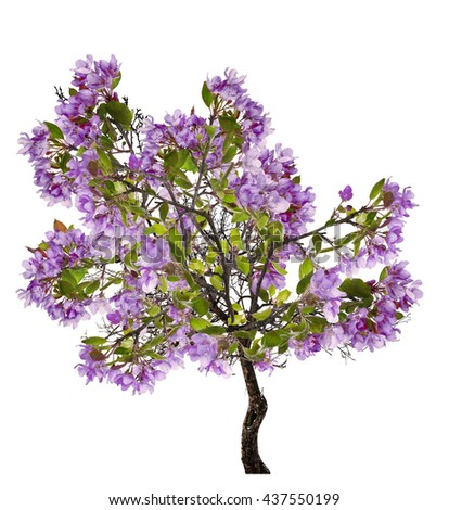 lilac blossoming apple tree isolated on white background