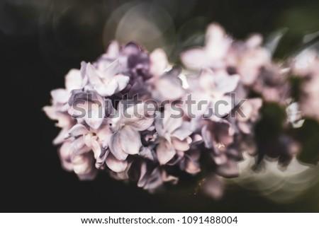 Lilac Blossoming Uk Garden Backlight Bokeh British Stock Photo