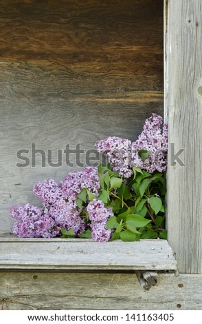 Lilac blossoms in a boarded up window