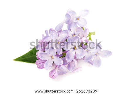 Lilac branch isolated on white background - stock photo