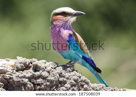 Lilac Breasted Roller Bird in Chobe National Park, Botswana, Africa - stock photo