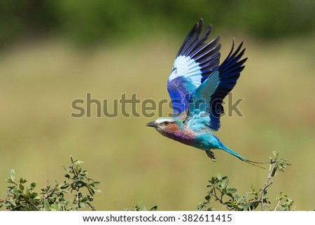 Lilac breasted roller in flight in Khwai Reserve in Botswana - stock photo