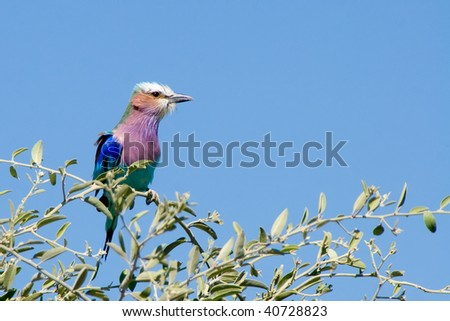 lilac-breasted roller on a branch - stock photo